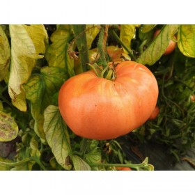 Tomate Belgian Farmer's