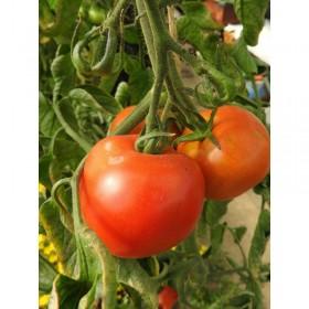 Tomate Corma (Première Lignée de Gembloux) Semailles