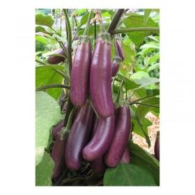 Aubergine Pusa purple cluster