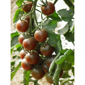 Tomate cerise Black Cherry