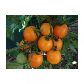 Tomate cerise Jaune ronde Madara Semailles