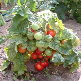 Tomate cerise Robin rouge (Red Robin) Semailles