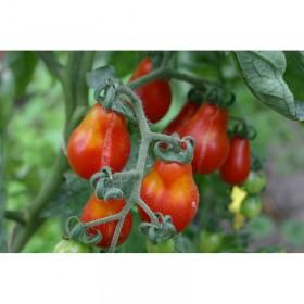Tomate cerise rouge poire