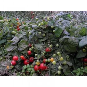 Tomate cerise japonaise basse