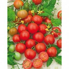 Tomate cerise Zuckertraube