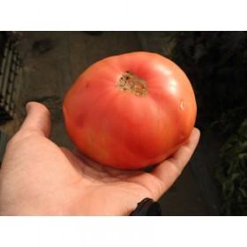 Tomate Belgian Farmer's Beefsteak Semailles