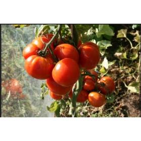 Tomate Potager de Vilvorde Semailles