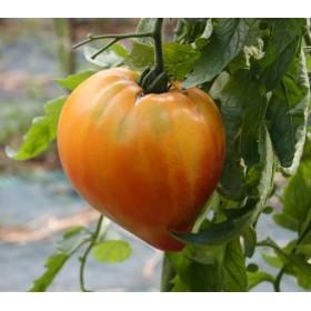 Tomate Coeur de Boeuf Russian 117 Semailles
