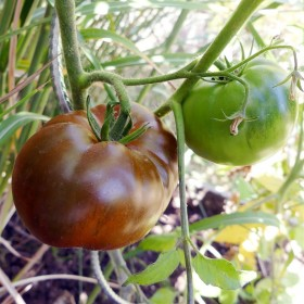 Tomate Noire Russe Charboneuse Semailles