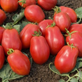 Tomate Roma Semailles